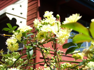 """Rosa banksia lutea in the eastern border gardens at """"The Shambles"""""""