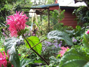 """Justicia carnea is just one of the examples of species and genus of colourful subtropical plants which thrive at """"The Shambles"""""""