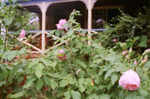 "Comtesse de Labarthe, or the Montville Rose, one of the Heritage Roses at ""The Shambles"