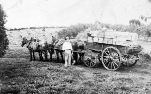 Harry Gunn transporting Fruit, including Pineapples from Montville to Palmwoods 1914
