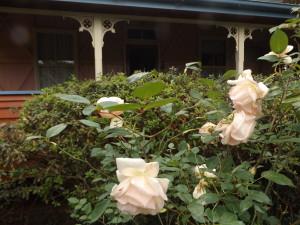 G.Nabbonand (Tea Rose)