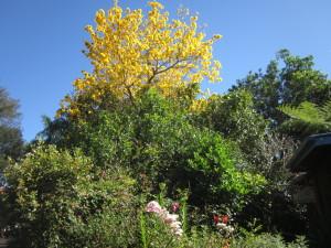 Tabebuia chrysora in spring