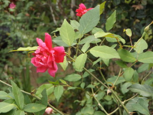 the-shambles-rose-ROR
